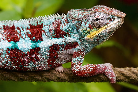 red and blue chameleon on brown rope