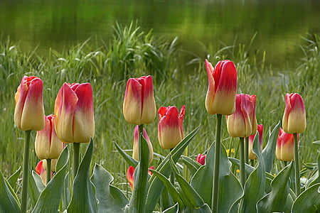 pink-and-beige tulip flowers nature photography