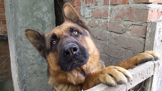 adult black and tan German shepherd leaning on fence beside brick wall at daytime