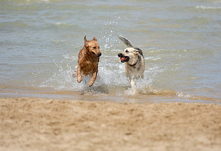 two adult German shepherd and golden retriever on body of water during daytime