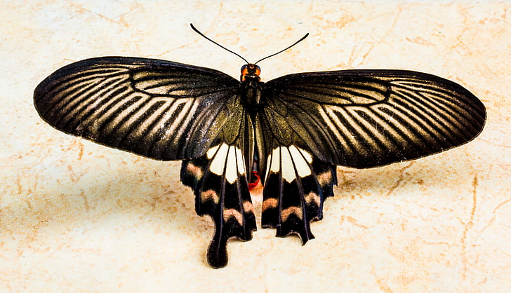 black and white butterfly