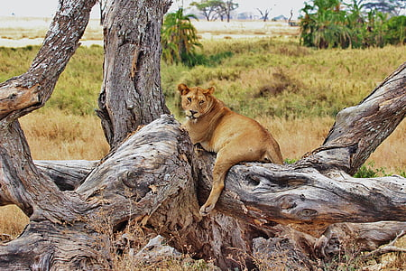 lion, tanzania, safari, serengeti, africa, animal