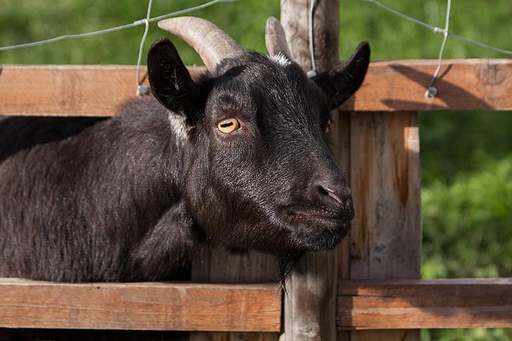 photo of black goat