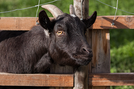 photo of black goat