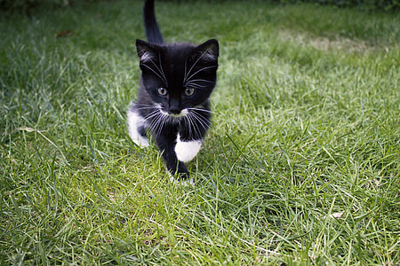 black and white bicolor kitten on green field