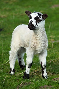 white and black lamb
