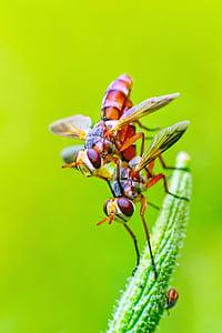 two brown hoverflies