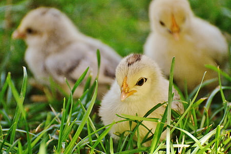 three beige chicks on grasses