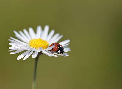red ladybug on daisy flower