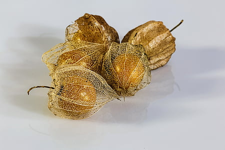 physalis alkekengi, bladder cherry, chinese lantern, japanese lantern, winter cherry, ripe