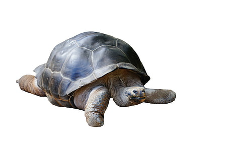 gray tortoise