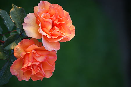 two pink and orange rose flowers