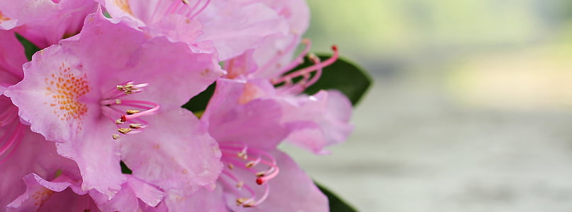 pink azalea flowers in closeup photo