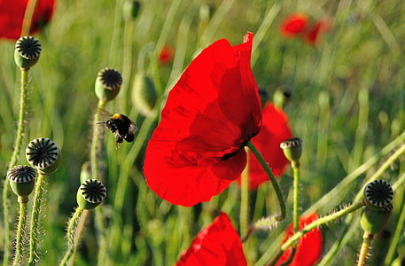 bumble bee flying near red poppy flowers