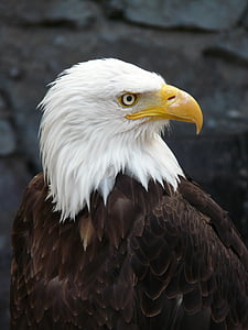 wildlife photography of bald eagle