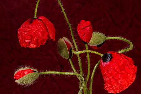 red poppy flowers beside poppy buds