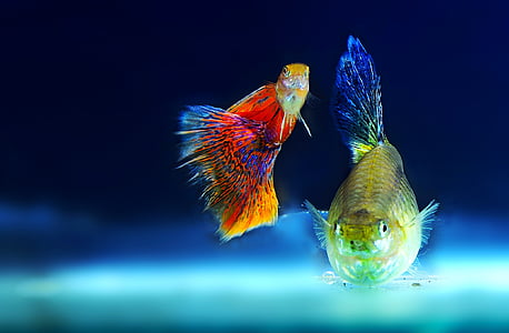 closeup photo of two red and yellow fish