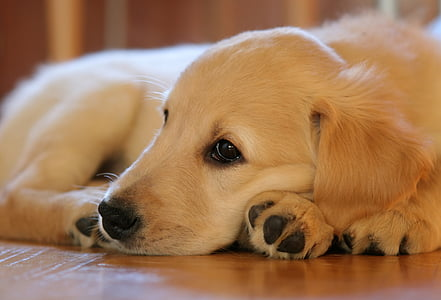 golden retriever puppy laying down on floor