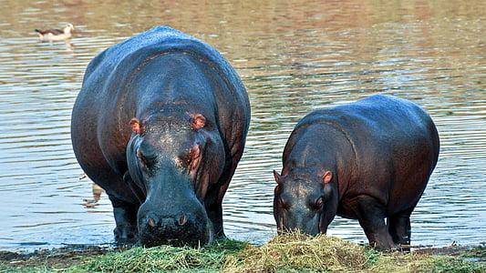 two hippopotamus near body of water during daytime