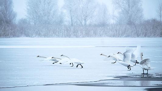 flock of swans on shore near bare trees