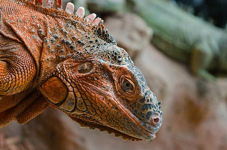 brown and gray iguana