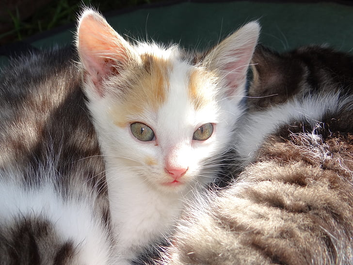 white and gray tabby kitten