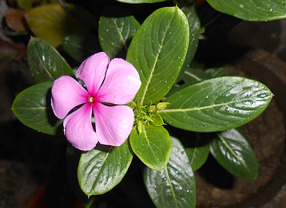 pink periwinkle flowers on pot