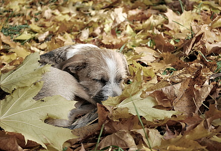 brown Border terrier puppy laying down on brown leaves
