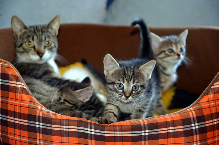 brown tabby cat and three kittens on pet bed