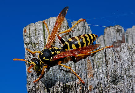 black and yellow wasp perched on gray wooden surface