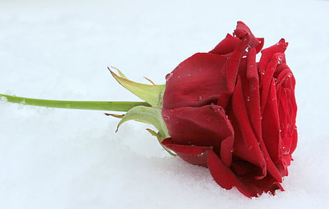 red rose on white surface