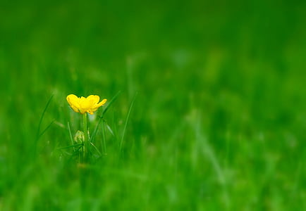 yellow buttercup flower in bloom selective focus photo