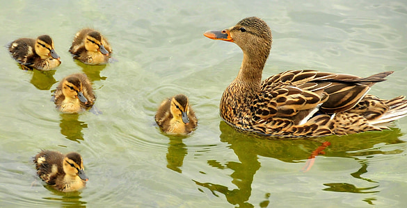 photo of brown and beige duck and five ducklings
