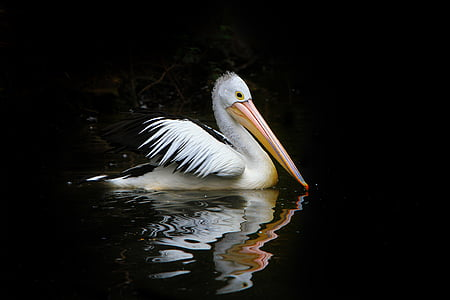Pelican on body of water