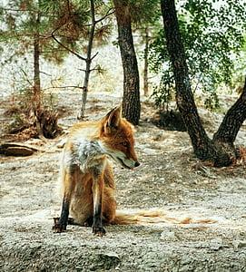 orange and gray fox