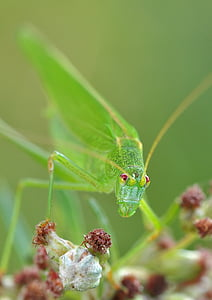 macro photo of giant katydid