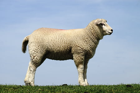 white lamb standing on grass during daytime