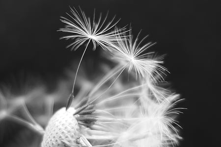 grayspace photo of dandelion