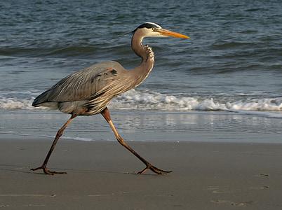 great blue heron walking along the shore during daytime