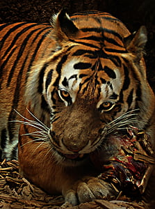 eating tiger painting