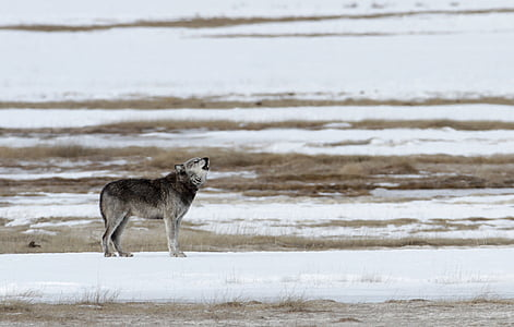 black and gray wolf during daytime