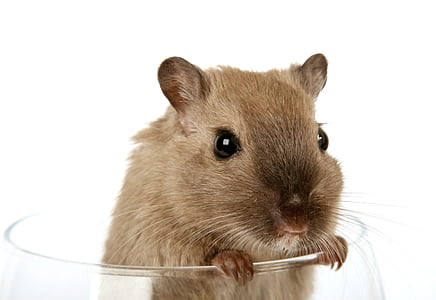 brown rodent in glass cup