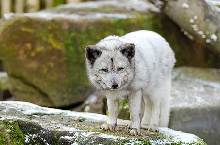 shallow focus photography of white wolf on brown rock during daytime