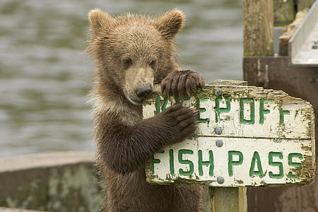 brown bear holding on white wooden fish pass signage during daytime