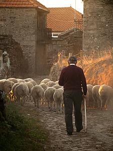man walking behind herd of sheep