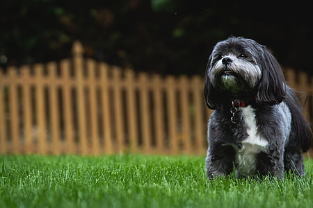 adult black and white shih tzu