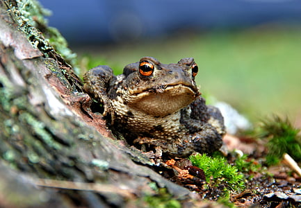 gray forest frog