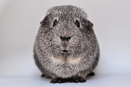 gray and white rodent