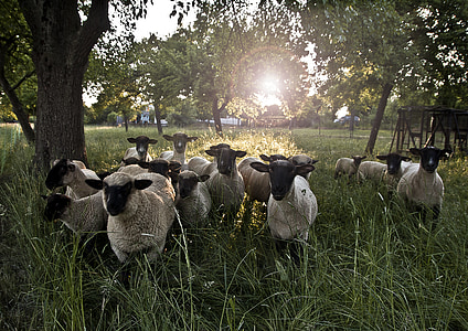 group of sheeps on grass