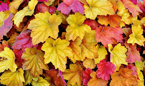 yellow and red maple leaves